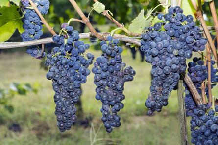 Il vino aglianico aiuta a combattere il cancro